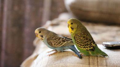 Поведение волнистых попугаев