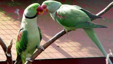 Photo of Как определить пол ожерелового попугая