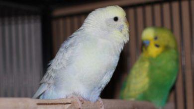 Photo of Какая музыка нравится волнистым попугаям