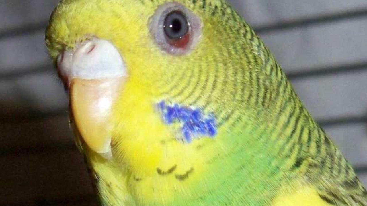 Опасен ли вирус ньюкасла для попугаев
