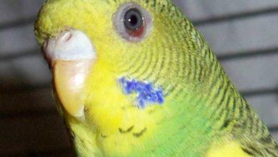 Чем можно заразиться от волнистого попугая