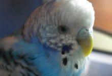 Photo of Что делать если у попугая перхоть