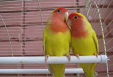 Photo of Попугаи неразлучники болезни и лечение