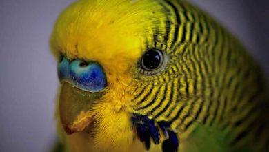 Запор у волнистого попугая
