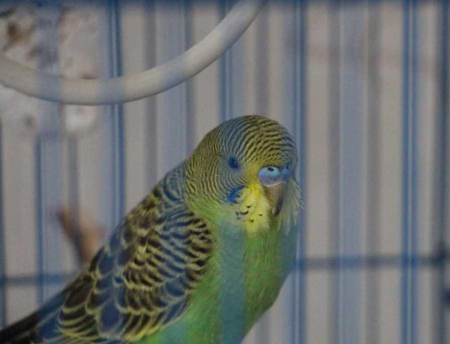почему попугай не вылетает из клетки