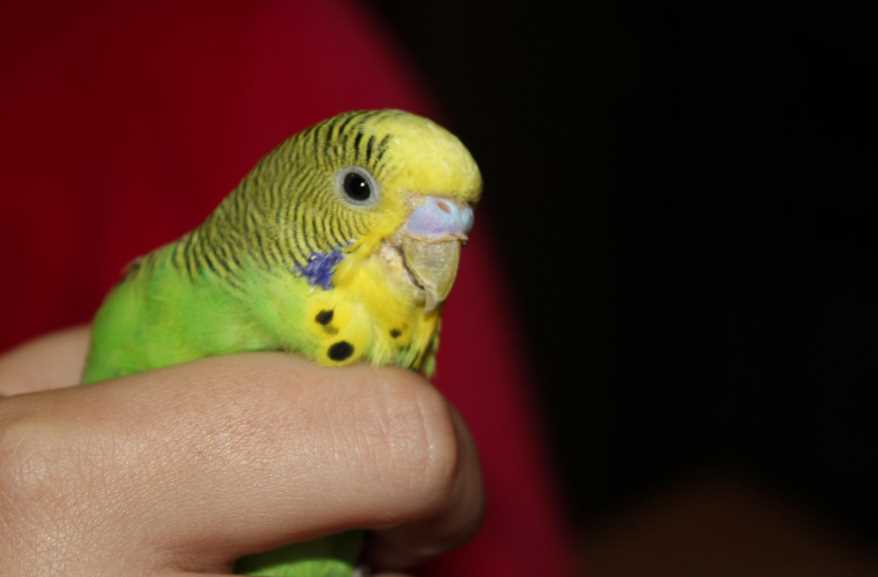 проявления кнемидокоптоза у попугая