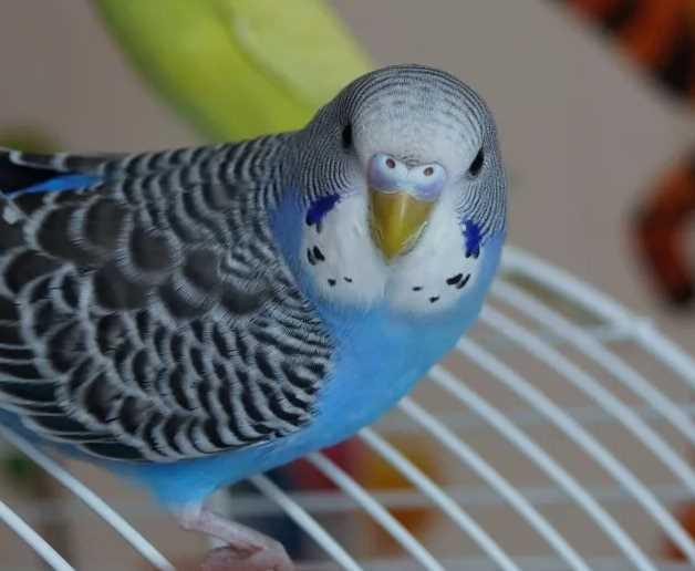 болезнь ньюкасла у попугая