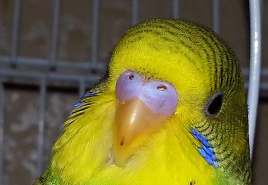 может ли попугай заболеть