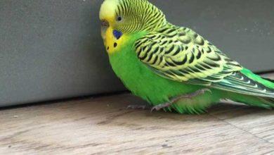 Photo of Как сделать чтобы попугай не боялся
