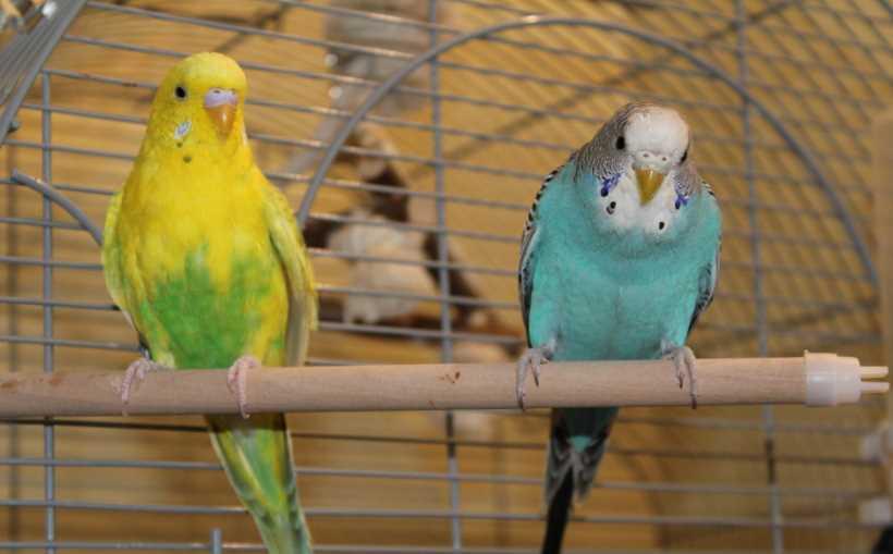 как антибиотик дать попугаю