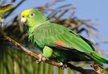 Photo of Желтолобый амазон — особенности вида