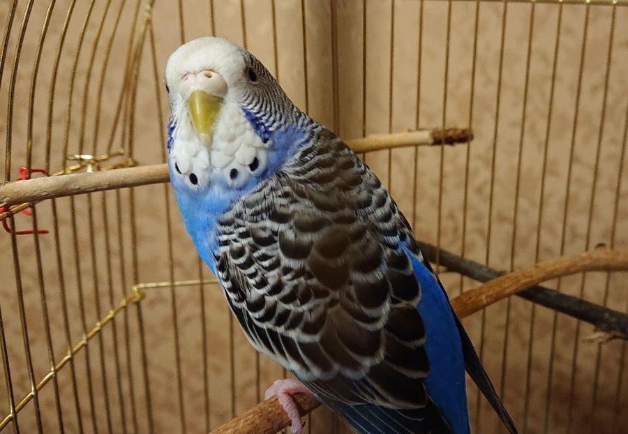 поведение в домашних условиях волнистых попугаев