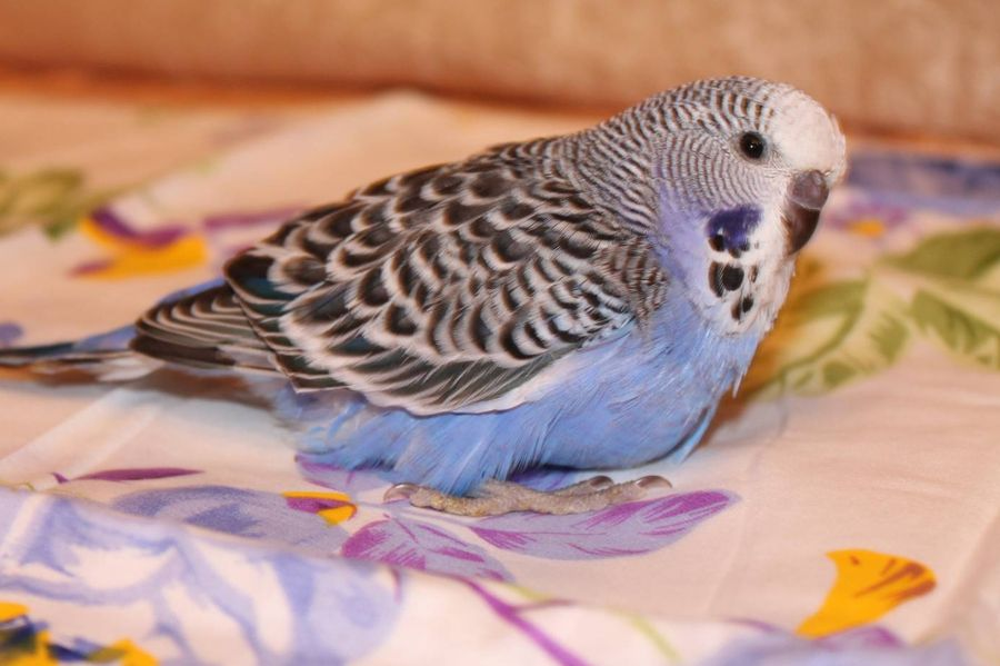 Какую музыку любят волнистые попугаи