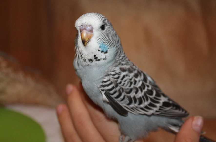 волнистый попугай жить один может ли