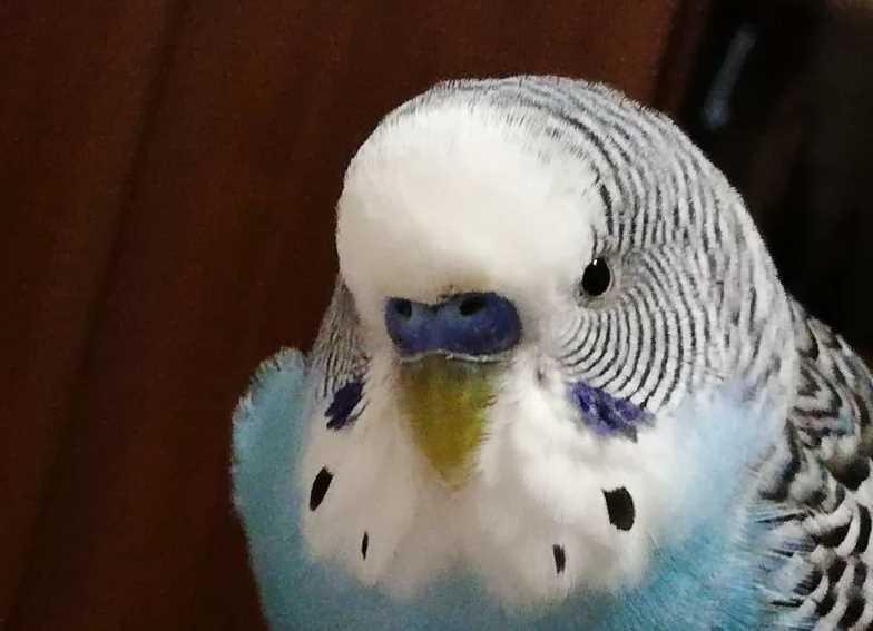 перхоть у попугая