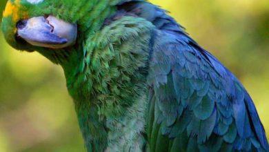 Photo of Амазон Мюллера — описание, уход и содержание попугая