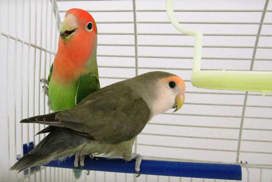 попугаи неразлучники лечение