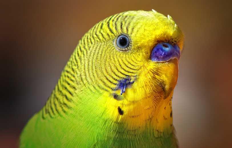 что делать если запор у попугая