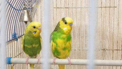 Photo of Как заставить попугая выйти из клетки