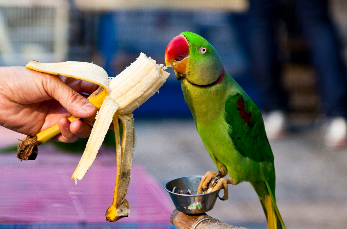 Корм для ожереловых попугаев