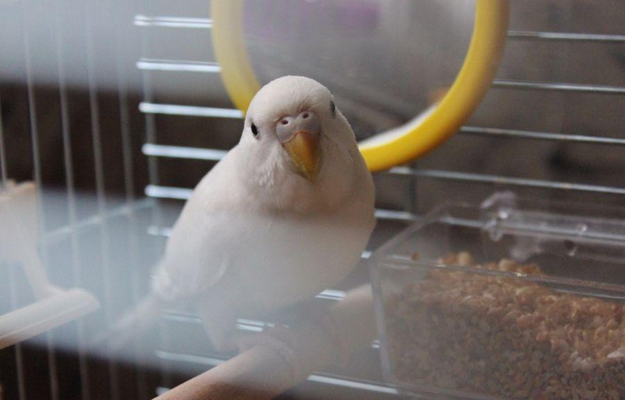 паразиты волнистых попугаев