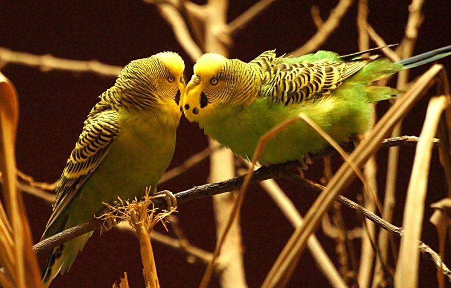 поведение попугаев волнистых