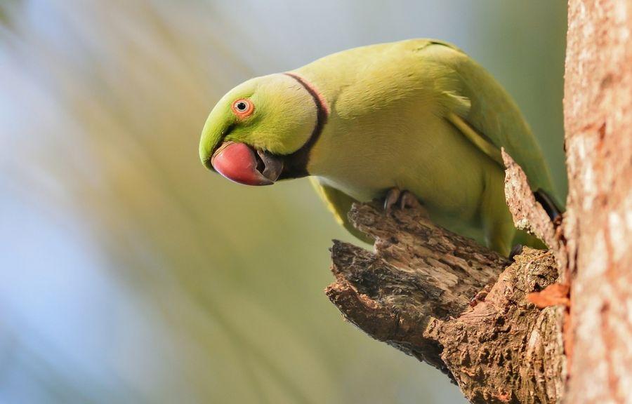 как у ожерелового попугая определить пол