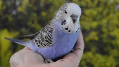 Photo of Волнистый попугайчик — может ли жить в клетке один?