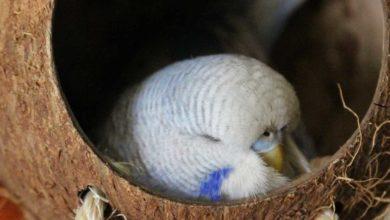 Photo of Попугай вялый и постоянно спит — причины