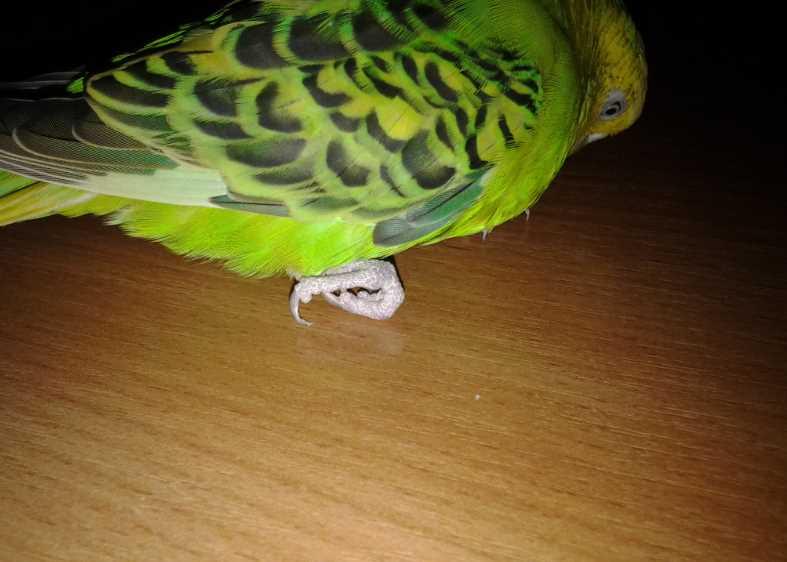 Попугай сломал лапку, что делать
