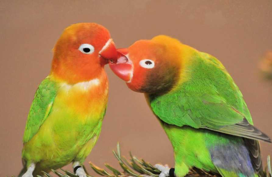 попугаи неразлучники болезни и лечение