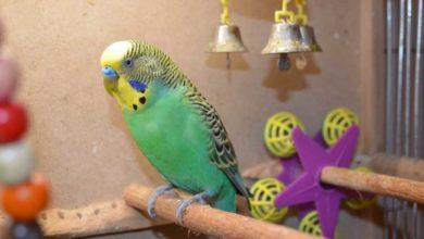 Антибиотики для волнистых попугаев
