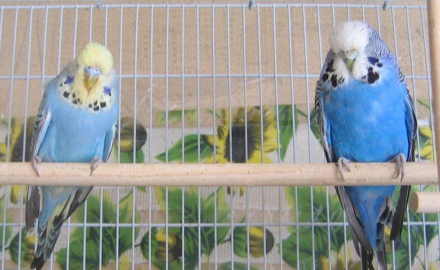 повадки попугаев волнистых