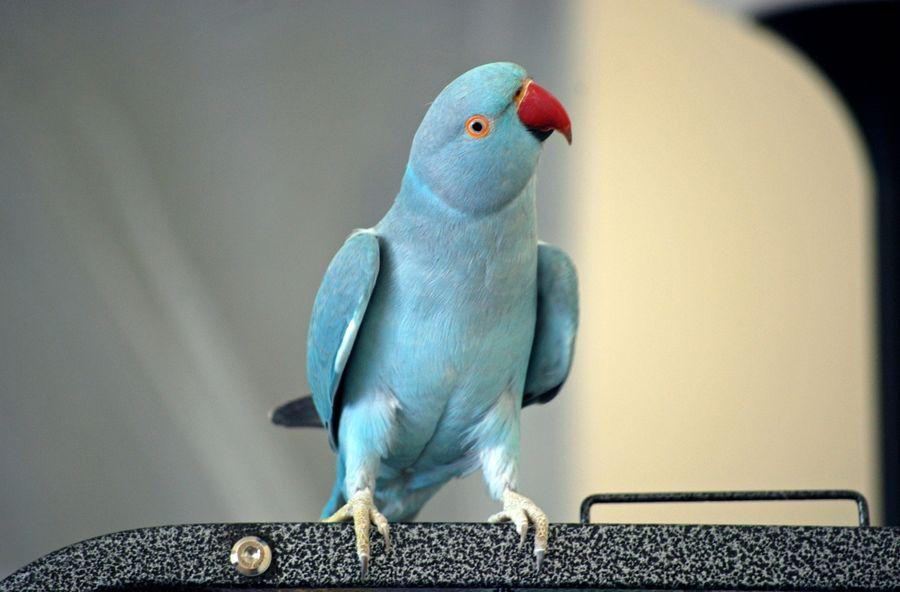 как определить возраст ожерелового попугая