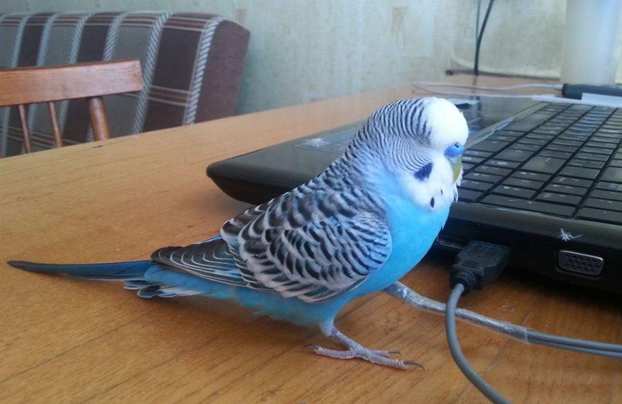 Пена из клюва у попугая