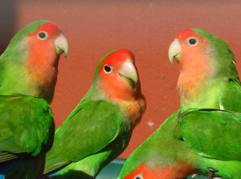 болезни попугаев неразлучников симптомы