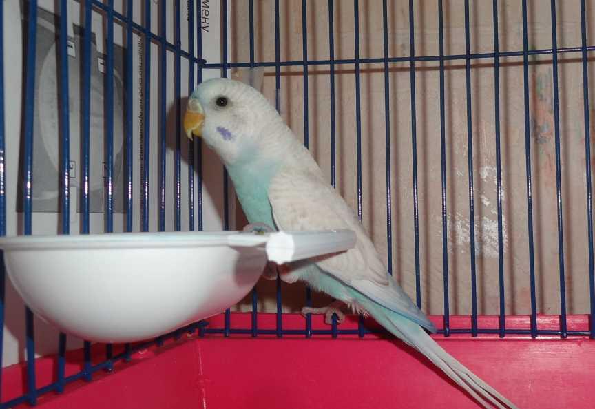 волнистого попугая запор