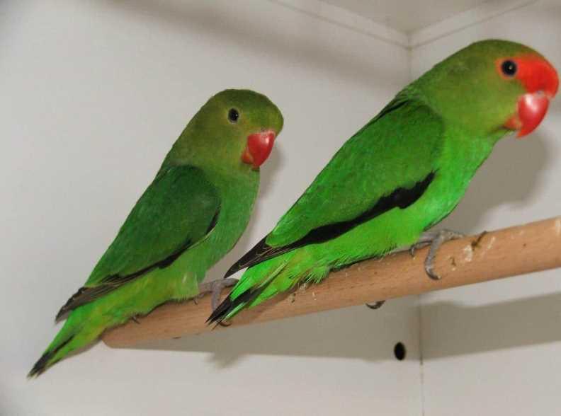 болезни попугаев неразлучников