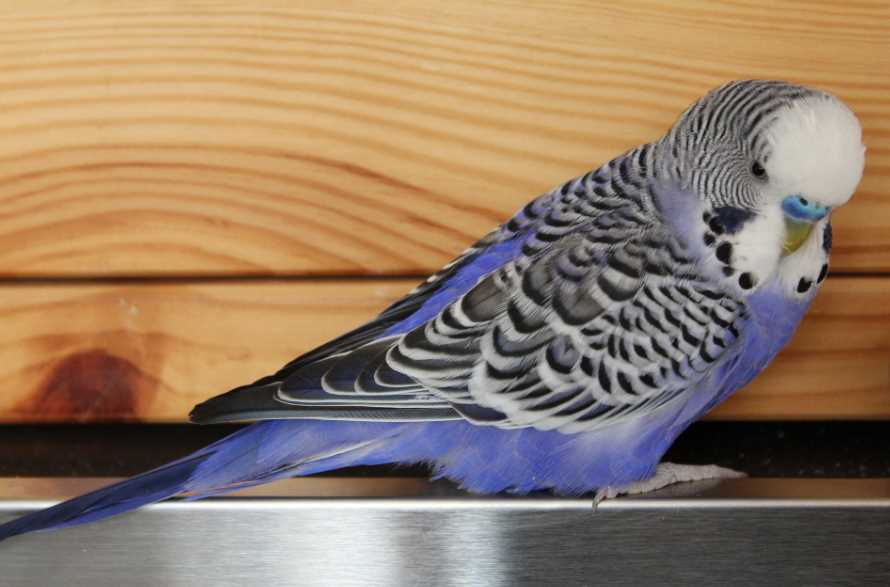 у волнистого попугая запор