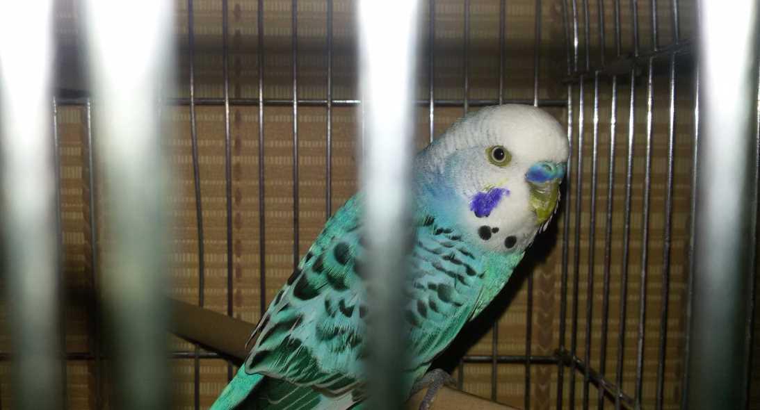 антибиотики волнистым попугаем