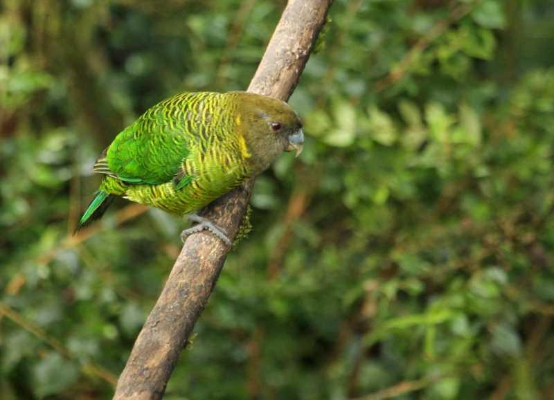 Маленькие попугаи