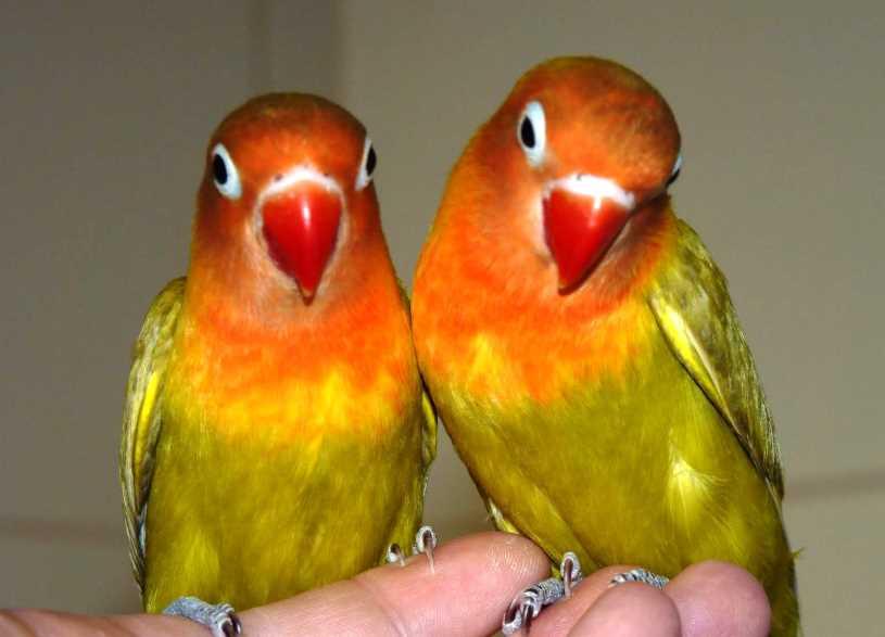 Средние попугаи
