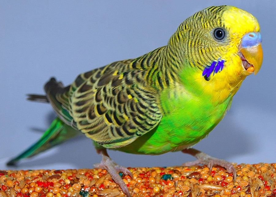паразиты у попугаев что делать