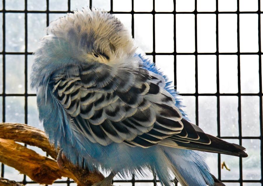 психология самка попугая