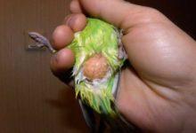 Photo of Липома у волнистого попугая — что это такое?