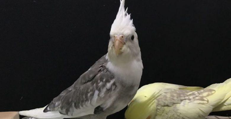 Photo of Попугай корелла шипит и кусается — что делать?