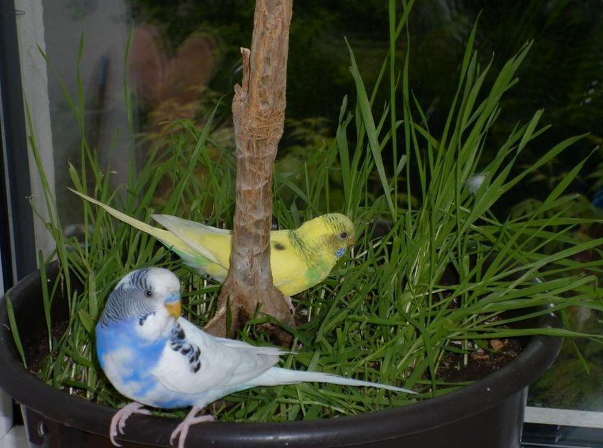 Трава для попугаев