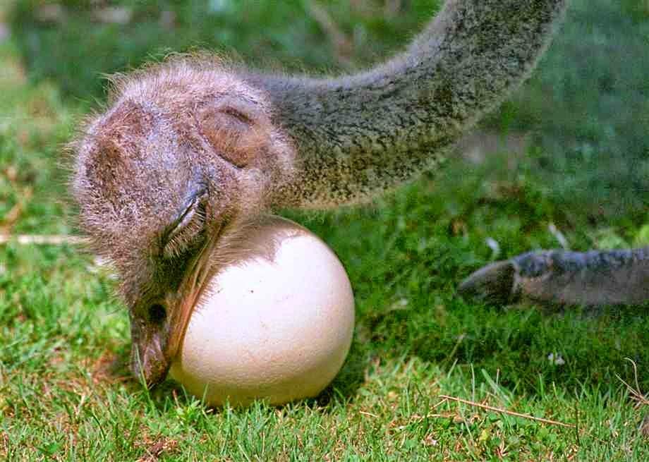 Сколько раз в год способны нестись страусы