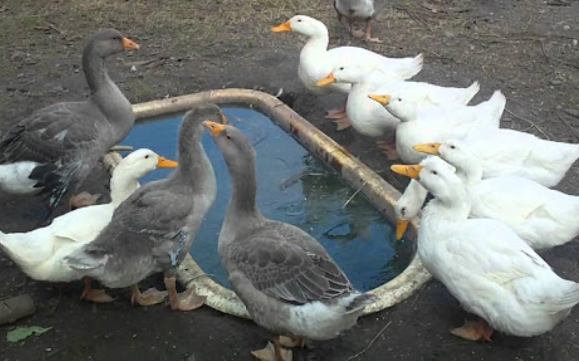 Какие лапы у гуся