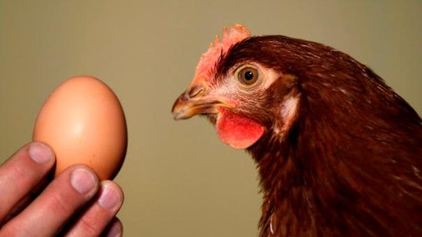 Как куры несут яйца, как оно формируется и куда курица их откладывает
